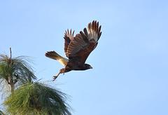Harris Hawk! (rambokemp) Tags: harris hawk phoenixarizona bluesky tree wildlife wilderness bif birdinflight birdinfligh canoneos1dxmarkii canonef100400mmf4556lisiiusm
