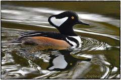 Hooded Merganser (RKop) Tags: hoodedmerganser raphaelkopanphotography loveland ohio nikon nature birds d500 600mmf4evr 14xtciii handheld