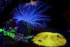 Anémone et corail solitaire (Olivier Brosseau) Tags: atlantique cnidaire flickrnature paris anémone aquarium corail marin transparence