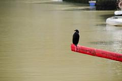 DSC_9909 (adrizufe) Tags: ondarru cormoran ngc aplusphoto nikon d7000 ilovenature adrizufe bizkaia