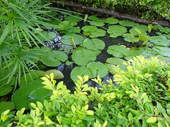 Frog Heaven (knightbefore_99) Tags: mexico mexican rincon guayabitos nayarit cool awesome great best tropical decameron frog heaven green beauty fantastic plant water lotus lovely