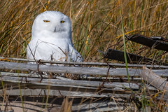 Snowy Owl (djrocks66) Tags: owl snowy snowyowl bird flight bif nature animals wildlife raptor talons outdoors beach hamptons longisland ny iloveny nikon sigma birds