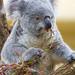 Koala eating eukalyptus