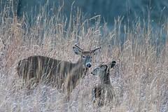 SunriseBoys (jmishefske) Tags: wehr november antler nikon rack franklin whitnall wildlife whitetail d850 2019 deer buck