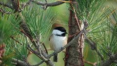 Poecile Atricapillus III (AVNativePlants) Tags: nature wildlife native bird portrait pose colorful wild black capped chickadee pitch pine foraging seeds