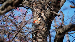 Melanerpes Carolinus (AVNativePlants) Tags: nature wildlife native bird portrait pose colorful wild red bellied woodpecker foraging tree trunk
