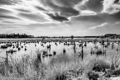 Scraggy bog - New Jersey Pinelands (LaurieD326) Tags: fuji fujinon newjerseypinelands pinebarrens newjerseypinebarrens thepines outdoors nature landscape landscapes cranberrybogs bog bogs spring water clouds blackandwhite monochrome ldionisio