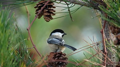 Poecile Atricapillus V (AVNativePlants) Tags: nature wildlife native bird portrait pose colorful wild black capped chickadee pitch pine foraging seeds