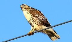 rough-legged hawk near Cresco IA 653A7084 (naturalist@winneshiekwild.com) Tags: roughlegged hawk cresco winneshiek county iowa larry reis