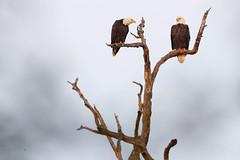 Bald Eagles (Let there be light (A.J. McCullough)) Tags: texas texasbirds baldeagle eagle brazosbend brazosbendstatepark