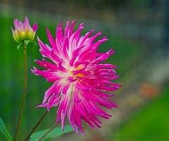 Harp shaped box (L@nce (ランス)) Tags: flower macro magenta bokeh jamesbay nikon micro nikkor britishcolumbia victoria flowers
