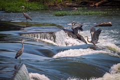 Herons at the Falls (Brad Prudhon) Tags: 2019 city daytrips downtown jamesriver june lakesrivers petersburg richmond virginiaheron