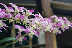 Pink flowers(orchid) (Liang Hung Ma) Tags: pink orchid sunday taipei vividstriking