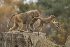 Mantelbaviaan - Safaripark Beekse Bergen - Hilvarenbeek (Jan de Neijs Photography) Tags: dierentuin zoo dierenpark nl holland thenetherlands dieniederlande diergaarde animal dier beeksebergen safaripark safariparkbeeksebergen hilvarenbeek aap ape noordbrabant sbb mantelbaviaan baviaan baboon papiohamadryas mantlebaboon canonef100400mmf4556lisiiusm canonnl 100400