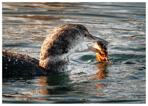 loon and his catch