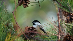 Poecile Atricapillus IV (AVNativePlants) Tags: nature wildlife native bird portrait pose colorful wild black capped chickadee pitch pine foraging seeds