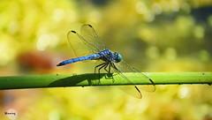 Blue Dasher 2146 (Ethan.Winning) Tags: bluedasherdragonfly dragonfliesanddamselflies odonata insects bugs mtdiablowalnutcreekca canonsx50 copyrightethanwinning