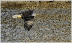 On Patrol (robinlamb1) Tags: animal bird nature outdoor rapton alpharaptor eagle baldeagle haliaeetusleucocephalus nicomen nicomenslough mission bc