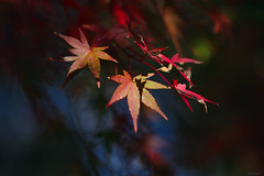 maple leaves (Christine_S.) Tags: shadows light sunlight colors autumn fall bokeh japan macrophotography nature canoneosm5 red orange green yellow ef100mmf28l mirrorless ngc npc coth5