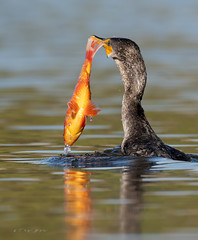 Cormorant got the orange carp (Thy Photography) Tags: wildlife animal nature outdoor backyard california bird sunrise sunset dawn dusk sunshine thyphotography cormorantwithfish cormorantgulpingfish cormorant carpfish sanfranciscobayarea sonya7rm4 avian fe600mmf4gmoss orangecarp