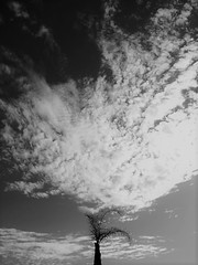 Suggested (Rand Luv'n Life) Tags: odc our daily challenge palm tree cloud fan outdoor monochrome blackandwhite mimicked