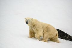 male polar bear - going up (swissgoldeneagle) Tags: свальбард svalbard z7 nikon eisbaer polarbear шпицберген norway белыймедведь полярныймедведь spitzbergen wildlife spitsbergen boar ursusmaritimus wildlifephotography nikon80400mmvr спитсберген северныймедведь eisbär svalbardundjanmayen