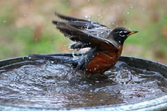 Robin taking a Bath....(Explored) (Patlees) Tags: robin birdbath nc fall explored
