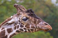 The Disappointed Giraffe (strjustin) Tags: giraffe animal beautiful portrait bokeh