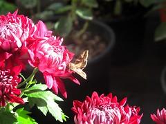 Luminoso autunno (annamariagiacomini) Tags: macro coloratoautunno fiori farfalla