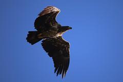 Immature Bald Eagle (-SOLO--) Tags: mottled sky blue flying immature baldeagle eagle