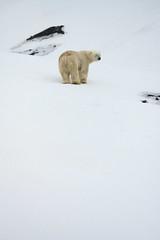 male polar bear - from behind, eyes closed (swissgoldeneagle) Tags: свальбард svalbard z7 nikon eisbaer polarbear шпицберген norway белыймедведь полярныймедведь spitzbergen wildlife spitsbergen boar ursusmaritimus wildlifephotography nikon80400mmvr спитсберген северныймедведь eisbär svalbardundjanmayen