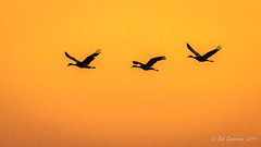 Sandhill Cranes at Sunset (Bob Gunderson) Tags: birds california centralvalley gruscanadensis northerncalifornia sanjoaquincounty sandhillcrane wadingbirds woodbridgeroad