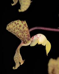 Gongora scaphephorus 'Sturt' (species orchids) Tags: gongora scaphephorus sturt