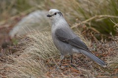 IMG_0168 gray jay (starc283) Tags: greyjay jay bird birding nature flicker flickr starc283 naturesfinest naturewatcher