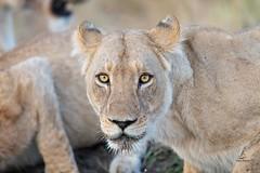 Eyes of a Hunter (Glatz Nature Photography) Tags: botswana glatznaturephotography nature nikond850 wildanimal wildlife africa lion lioness eyecontact pantheraleo okavangodelta animal mammal bigcats hunter pride khwairiver