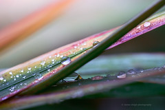 Sony a7rii sony 90mm g 2.8 macro (Jasrmcf) Tags: sony sonyalpha sonymacro sonya7r sonyimages sonyg sonya7rii sony90mm28 nature ngc greatphotographers colours colourful colourartaward raindrops leaf grass dof detail depthoffield delicate smooth blur fullframe flower flowers dreamy bokeh bokehgraph bokehlicious