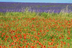 P1140439 (alainazer) Tags: valensole provence france fiori fleurs flowers fields champs colori colors couleurs coquelicot poppy papavero lavande lavanda lavender