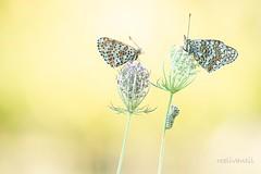 Vlinders met rups / Butterflies with caterpillar (roelivtil) Tags: tweekleurigeparelmoervlinder knoopkruidparelmoervlinder butterflies caterpillar rups parelmoervlinder white melitaeadidyma spottedfritillary redbandfritillary knapweedfritillary melitaeaphoebe