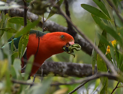 Male Australian king parrot eating green seeds of Acacia melanoxylon, Paluma, northwest of Townsville, QLD, 06/11/19 (Russell Cumming) Tags: bird australiankingparrot plant acacia acaciamelanoxylon mimosaceae paluma townsville queensland