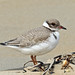 Hooded Plover - juvenile (1046)