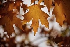 Golden leaves....HSS!!! (Joe Hengel) Tags: goldenleaves lewesde lowerslowerdelaware lsd lewes delaware de sussexcounty leaves leaf fall fallcolors bokeh afternoon texture hss happyslidersunday slidersunday slide slider sunday