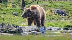 #Bear - 7753 (✵ΨᗩSᗰIᘉᗴ HᗴᘉS✵84 000 000 THXS) Tags: bear animal nature pairidaiza sony sonydscrx10m4 belgium europa aaa namuroise look photo friends be yasminehens interest eu fr party greatphotographers lanamuroise flickering