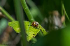 BICHO DE LA PATATA (juan carlos luna monfort) Tags: macro insecto insect rumania romania tileagd bihor bug verde nikond810 nikon24120 calma paz tranquilidad