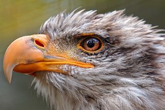 Eagle Eyes | Clear Sight (picsessionphotoarts) Tags: nikon nikonphotography nikonfotografie nikond850 norddeutschland afsnikkor200500mmf56eedvr tierfotografie animalphotography inthefields countrysidelife falknerei falconry baldeagle weiskopfseeadler adler eagle tierportrait anminalportrait