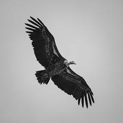 Vol majestueux (Urbex-67) Tags: vautour vol ailes oiseau rapace