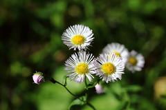 IMG_0481 (Paul_Paradis) Tags: blossom fleur flora floral flower jardin garden plante plant nature natural ete summer brillant macro canada quebec iledorleans