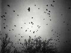 Flying crows (Diaffi) Tags: flyingbirds wwwfollowthegrainde mediumformat fujifilmga645wiprofessional ilforddelta400professional pushedfilm3stops developermicrophen selfdeveloped blackandwhite monochrome motionblur grain ishootfilm crows trees 6x45 flyingcrows
