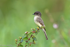 Eastern Phoebe (Linda Martin Photography) Tags: usa wildlife nature us easternphoebe bird circlebranch sayornisphoebe florida coth naturethroughthelens coth5 alittlebeauty ngc npc specanimal