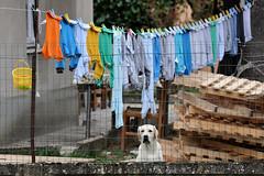 courtyard view (Lorenzog.) Tags: courtyardview courtyard view dog pet laundry busseto labrador emiliaromagna italy nikon d700