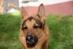 Mexx (_rney_) Tags: shepherd schäferhund deutscher german hund dog pet gsd animal mexx
